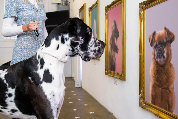 "EDITORIAL USE ONLY Frasier, a Great Dane attends the Facebook Watch launch of 'The National Paw-trait Gallery', the world's first gallery for dogs, London. PRESS ASSOCIATION Photo. Issue date: Thursday February 7, 2019. The gallery opening marks the launch of ""World's Most Amazing Dog"" on Facebook Watch, a new interactive global competition series that celebrates entertaining dogs and their owners. UK Facebook users can submit an ""audition"" video of their pet, and then it's up to the online community to vote and decide who will win the $100,000 prize. The exhibition is free and open to the public and their dogs until 9th February at Protein Gallery in Shoreditch. Photo credit should read: Anthony Upton/PA Wire"